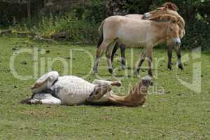 Przewalski-Fohlen wälzt sich