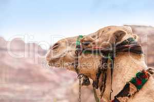 Camel portrait in Petra, Jordan