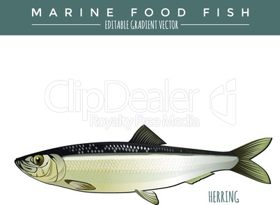 Herring. Marine Food Fish