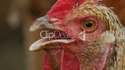 Ultra Close-up Shot of Organic Chicken in a Farm