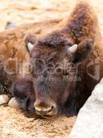 bison cub lies on sandy ground