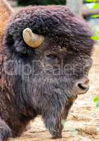 bison bull head portrait