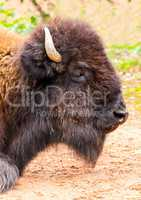 female bison head portrait
