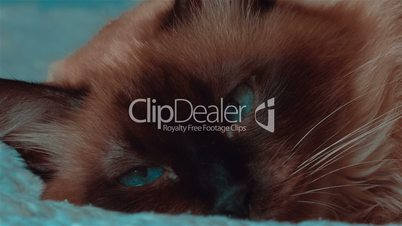 Ultra close-up of Siamese cat with moving blue eyes