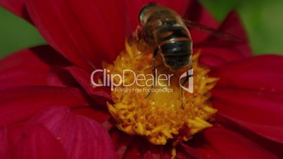 Ultra Macro Shot of a Bee Pollinating a Red Flower