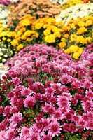 chrysanthemum flower autumn scene
