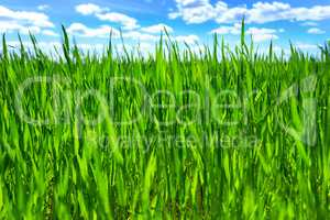Grass and blue sky