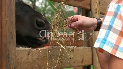 Feeding Hay To Horse