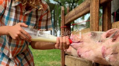 Feeding Milk To Pigs
