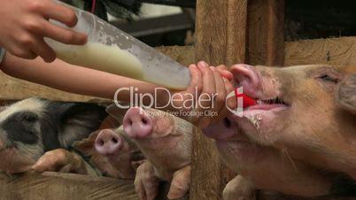 Feeding Milk To Hungry Pigs