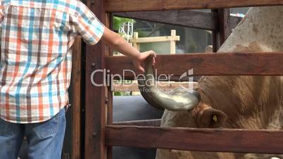 Boy Touching Cattle Horn