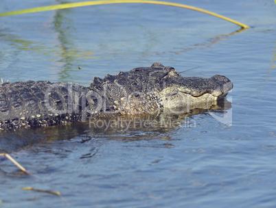 Large Florida Alligator