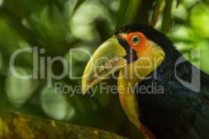 Close-up of green-billed toucan staring at camera