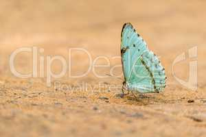 Pale green butterfly perched on sandy ground