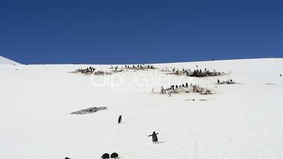 Gentoo Penguins on the snow