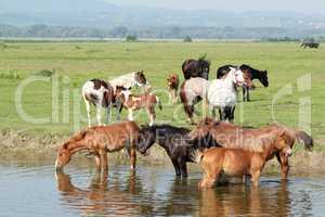 herd of horses on river