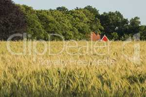 Rye field in the Achterhoek in Netherlands.