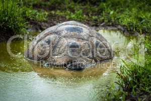 Galapagos giant tortoise lying in shallow pool