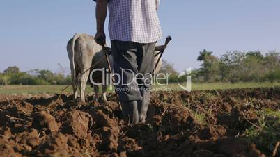 2-Man Farmer Working Ploughing The Soil With Ox