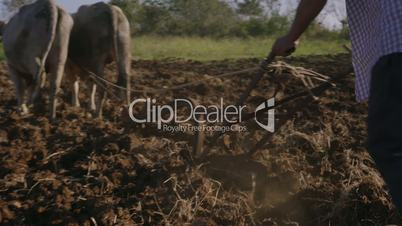 3-Man Farmer Cultivating Land Plowing The Soil With Ox