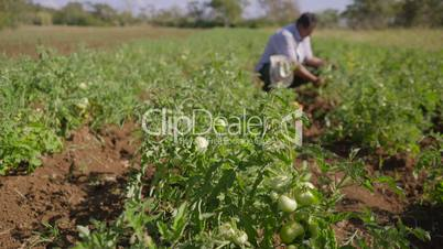 12-Man Farmer Picking Red And Green Tomatoes From Plant