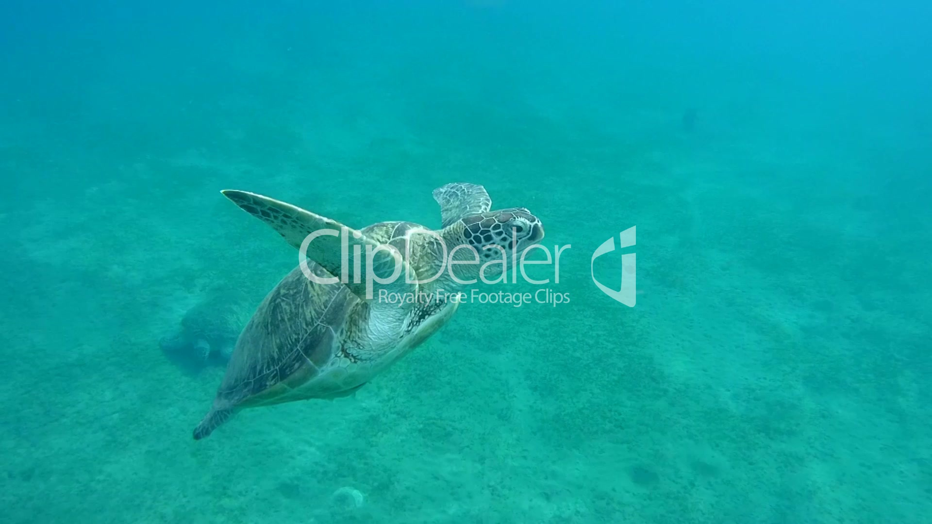an introduction of green turtle chelonia mydas Scientific name: chelonia mydas description: they are easily distinguished from  other sea turtles because they have a single pair of prefrontal scales (scales in.