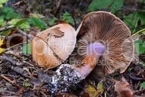 Freckled Webcap mushroom