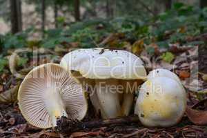 Gold flecked woodwax mushrooms