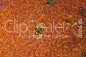 Colonies of Ascidian (Bortulloides violaceus)