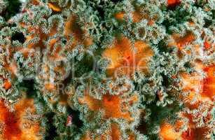 Red senile anemone, plumose anemone or frilled anemone (metridiu