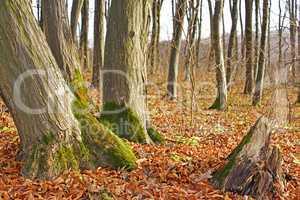 Hornbeam trunks in autumn