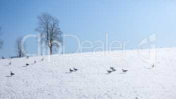 Geese winter scenery