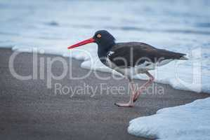 American oystercatcher avoiding waves on sandy beach
