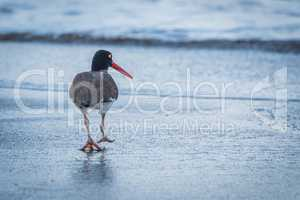 American oystercatcher on beach walking towards sea