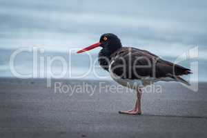 American oystercatcher standing on beach beside sea