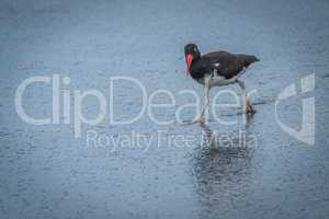 American oystercatcher reflected in shiny wet beach