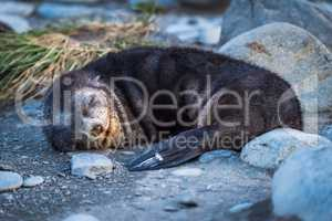 Antarctic fur seal asleep on stony beach