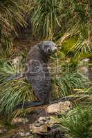 Antarctic fur seal looking back in grass