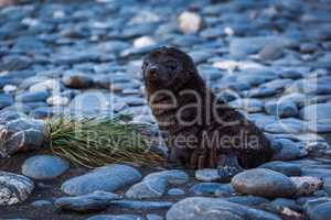Antarctic fur seal lying on shingle beach