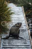 Antarctic fur seal on walkway in snow