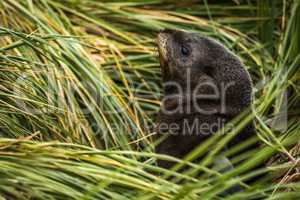 Antarctic fur seal pup among grass tussocks