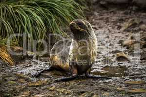 Antarctic fur seal on wet rocky riverbed