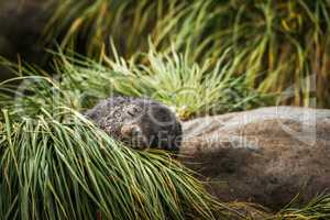 Antarctic fur seal pup asleep in grass