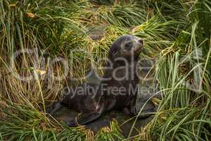 Antarctic fur seal pup in tussock grass