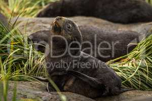 Antarctic fur seal pup on grassy rock