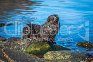 Antarctic fur seal pup on mossy rock