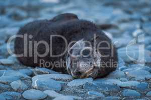 Antarctic fur seal pup on shingle beach