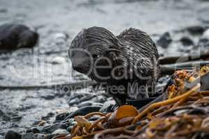 Bedraggled Antarctic fur seal pup on beach
