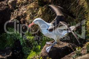 Black-browed albatross close to take-off from nest