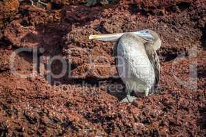 Brown pelican perched on brown volcanic rock